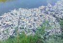 यमुना नदी में हजारों की संख्या में मरी मछलियां